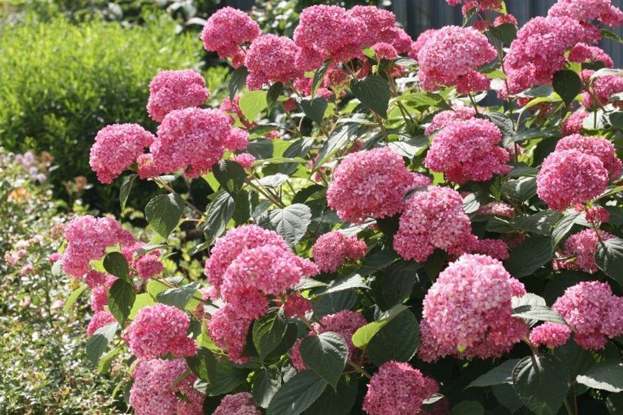 Dagi aia TAIMED Puishortensia Pink Annabelle