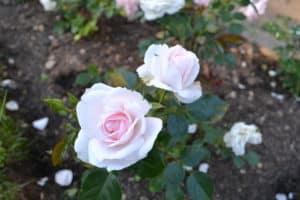 Dagi aed Aspirin