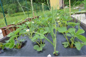Dagi aed maasikad