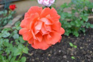 Dagi aed Alexander roos TH