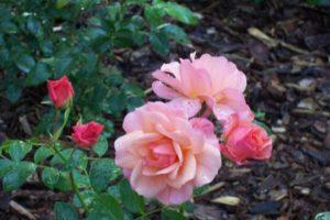 Dagi aed Aprikola roos