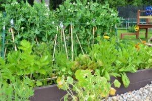 Dagi aed peenrakast hernega