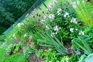 Dagi aed püsikupeenar august