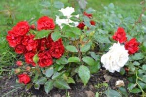Dagi aed pinnakatteroos