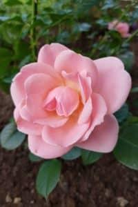 Dagi aed roos astrid lindgren