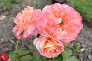 Dagi aed roos augusta luise