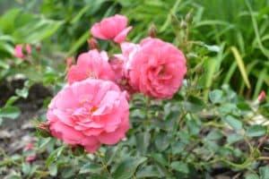 Dagi aed roos bad birnbach
