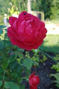 Dagi aed roos benjamin britten