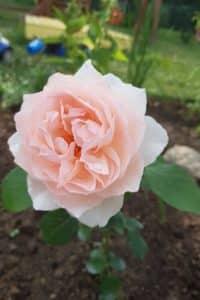Dagi aed roos clair renaissance