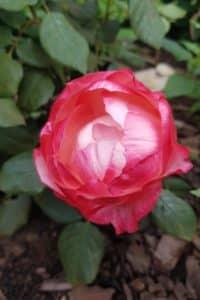 Dagi aed roos nostalgie