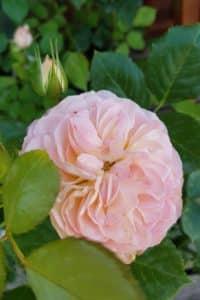 Dagi aed roos pastella