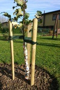 Dagi aed õunapuu mässimine