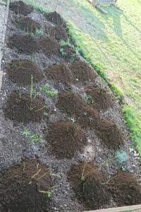 Dagi aed muldamine1