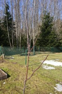 Dagi aed õunapuu
