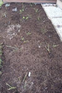 Dagi aed roosipeenar