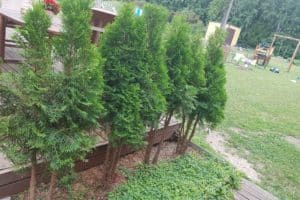 Dagi aed elupuud