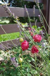 Dagi aed roos ja lavendel