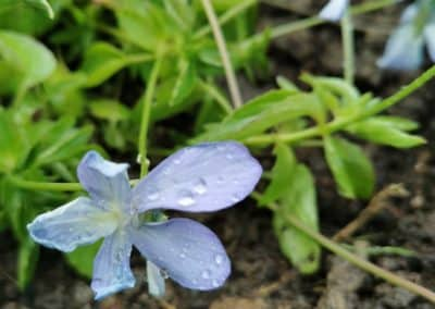 Sarvkannike 'Boughton Blue'