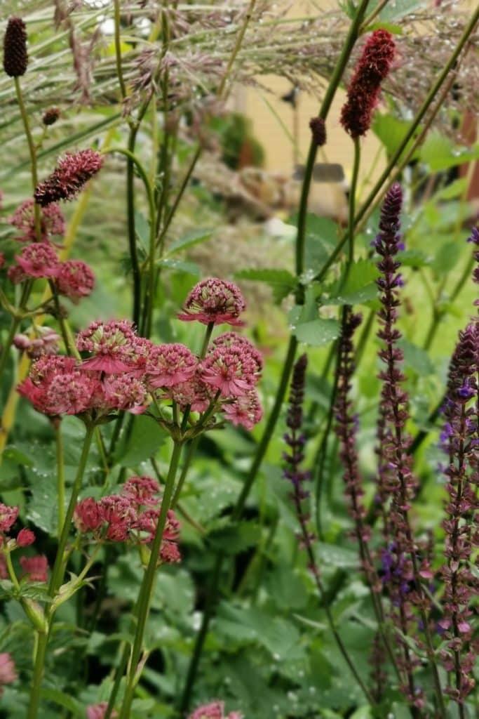 dagi aed Suur-Tähtputk, ameerika punanupp, metssalvei