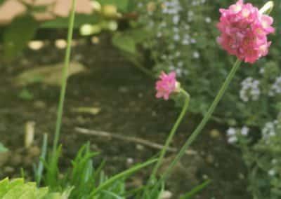 "Harilik merikann ""Abbey Deep Rose"""