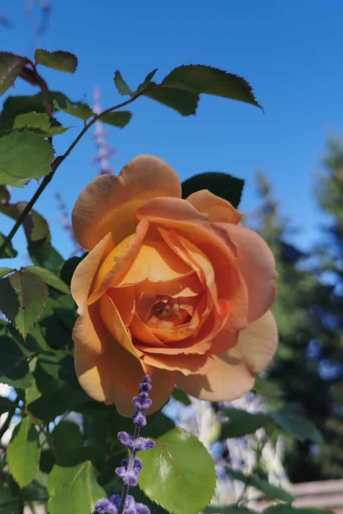 dagi aed roos Lady of Shalott