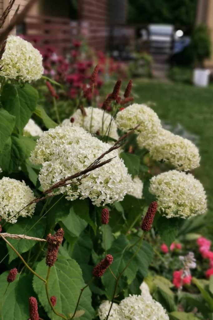 dagi aed Puishortensia Annabelle ja ameerika punanupp