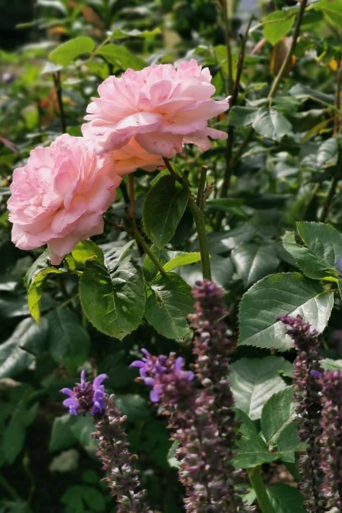 "dagi aed Roos Clair Renaissance ja Oivaline salvei ""Blaukönigin"""