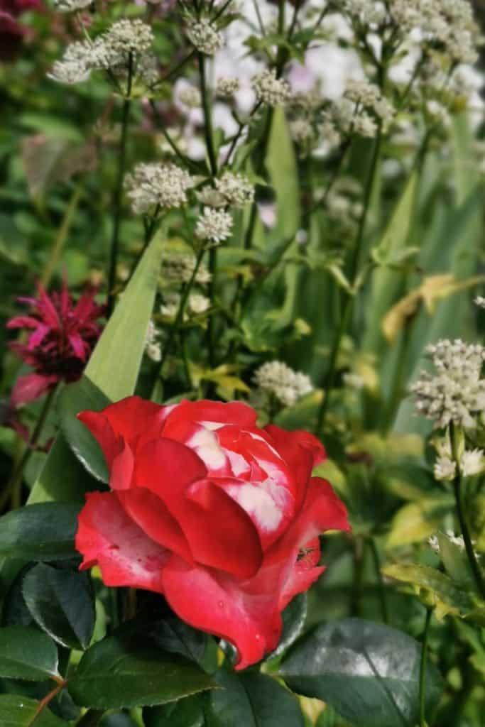 dagi aed Roos Nostalgie ja suur-tähtputk Star of Billion